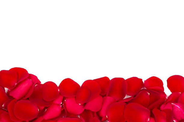 rose petals isolated on white - rose petals stock pictures, royalty-free photos & images