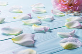 istock Rose petals on a blue wooden background. 585081922