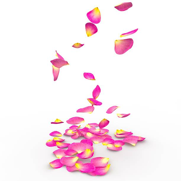 Rose petals on isolated background picture id468504066?b=1&k=6&m=468504066&s=612x612&w=0&h=qbr4ajcbzcg sz0en4x qhbqpl6cnant3cphxqb axo=