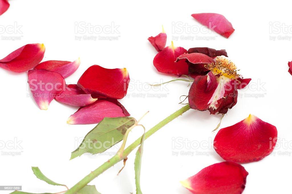 Rose Petals royalty-free stock photo
