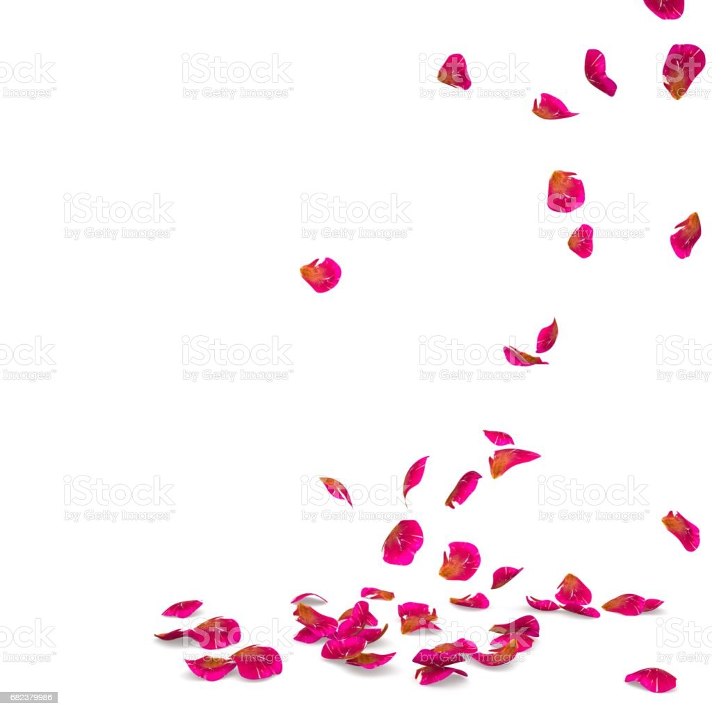 Rose petals speckled fall on the floor royalty-free stock photo