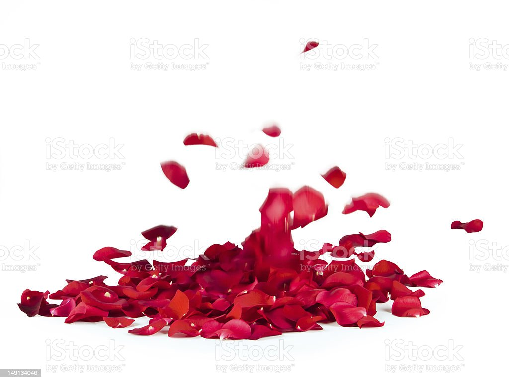 Rose petals spread in a blank background stock photo