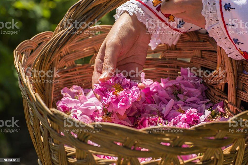 Rose picking ritual stock photo