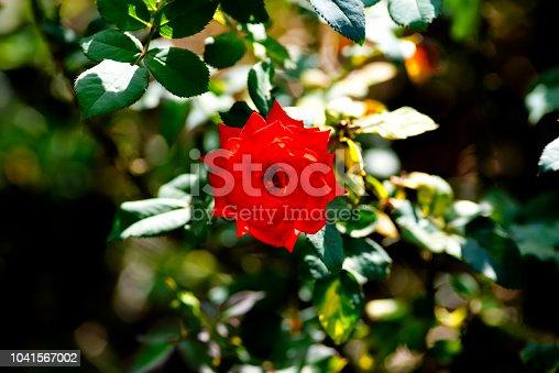 155139080istockphoto Rose 1041567002