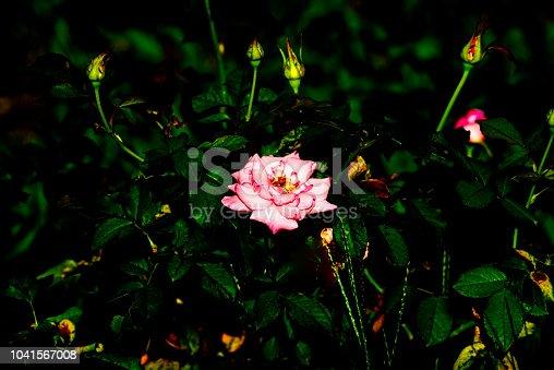 155139080istockphoto Rose 1041567008