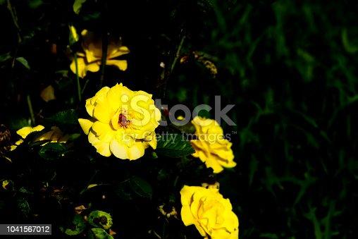 155139080istockphoto Rose 1041567012