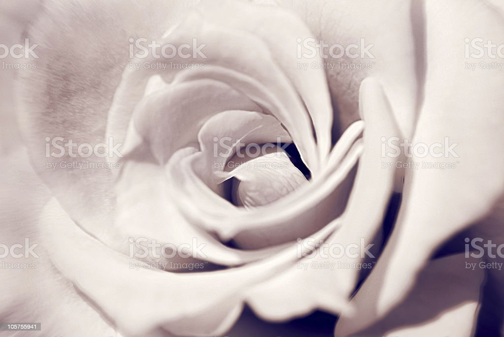 Rose royalty-free stock photo