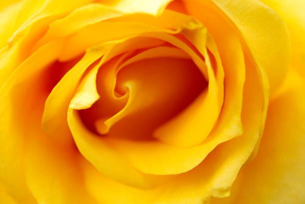 Rose picture id1125363058?b=1&k=6&m=1125363058&s=612x612&w=0&h=fddzdkv8l asvy7ryyugppftxyewvvododjfjr9v yq=