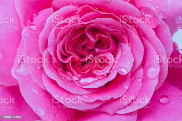 Rose picture id1133734704?b=1&k=6&m=1133734704&s=612x612&h=0sdresdjedcu o2vynx7dypiiyqy7dxofhkmjovp9rg=