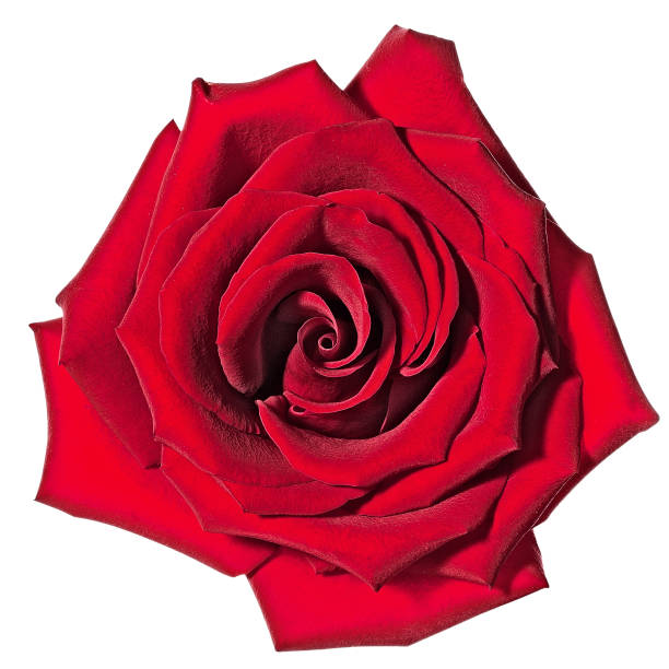 Rose picture id1163872364?b=1&k=6&m=1163872364&s=612x612&w=0&h=j2kgzygea oysrcewmcofkycc9lscpruiseayaiebhq=