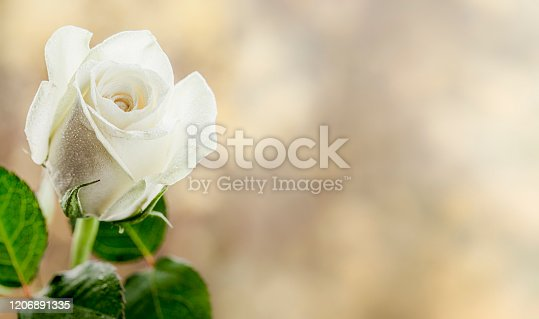 A detailed close up of a white rose.