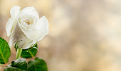 istock Rose 1206891335