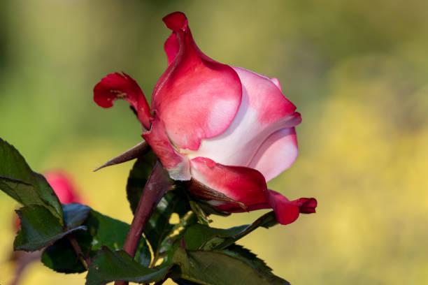 Rose picture id1266163894?b=1&k=6&m=1266163894&s=612x612&w=0&h=ird1c2iivgx5uyjizoc6 mfk4uhpawcjbidumlntfae=
