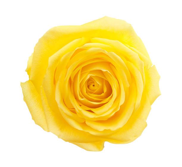 rose. - objet jaune photos et images de collection
