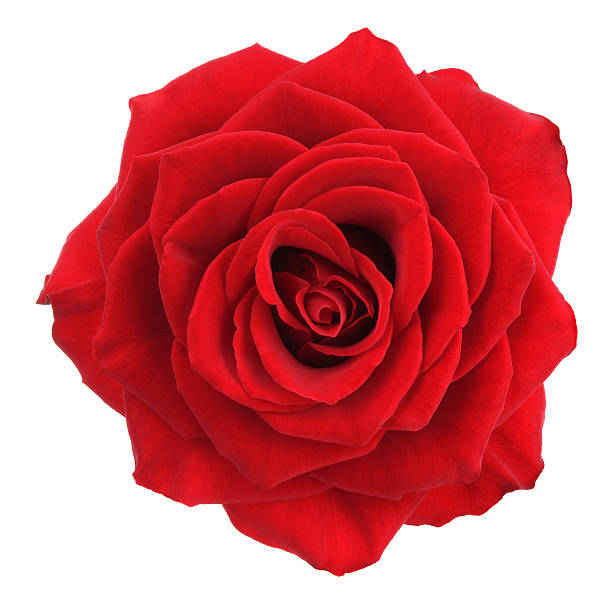 Rose. Red flower on a white background. single flower stock pictures, royalty-free photos & images