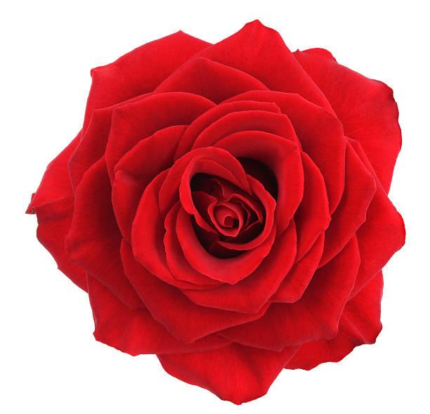 Rose. - Photo