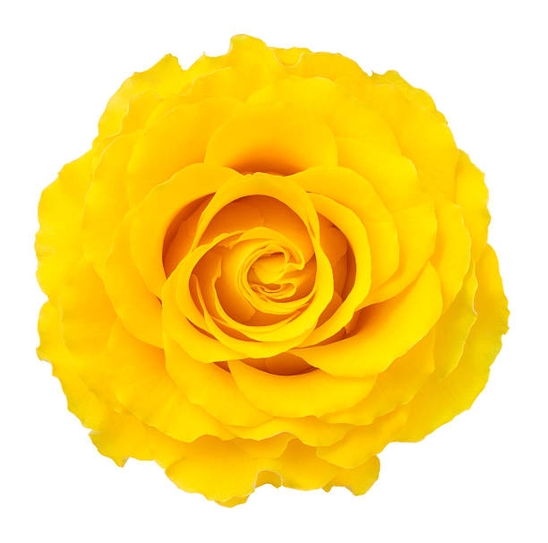 Royalty free single yellow rose pictures images and stock photos rose stock photo mightylinksfo Image collections