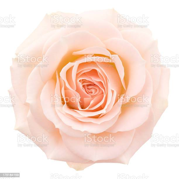 Rose picture id175184159?b=1&k=6&m=175184159&s=612x612&h=gifpimgu 2b qxtydtyrok6rz3qemuchueh3pqee0ec=