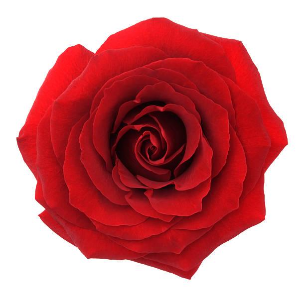 Rose picture id175222161?b=1&k=6&m=175222161&s=612x612&w=0&h=q0oxu63x560ducmfjaqdd6dlwxiju7qytrvhgbcndwa=
