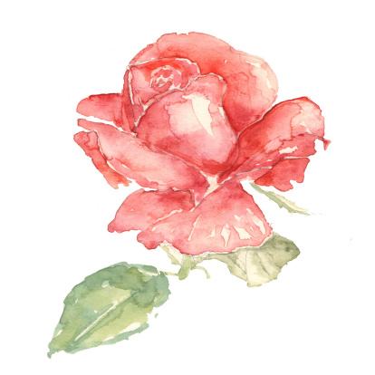 Watercolour illustration of a Red Rose on a white background. Original work on watercolour paper scanned and uploaded.