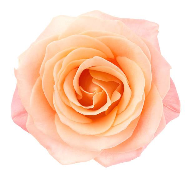 Rose picture id181853095?b=1&k=6&m=181853095&s=612x612&w=0&h=qlzkravf gjoktltrlmkceewx32uhekjw5liorp97fg=