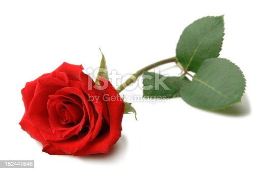 Beautiful Red Rose lying on a white background.