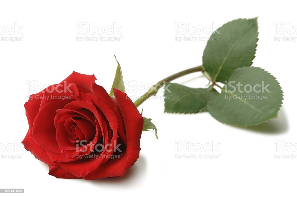 Rose – Foto