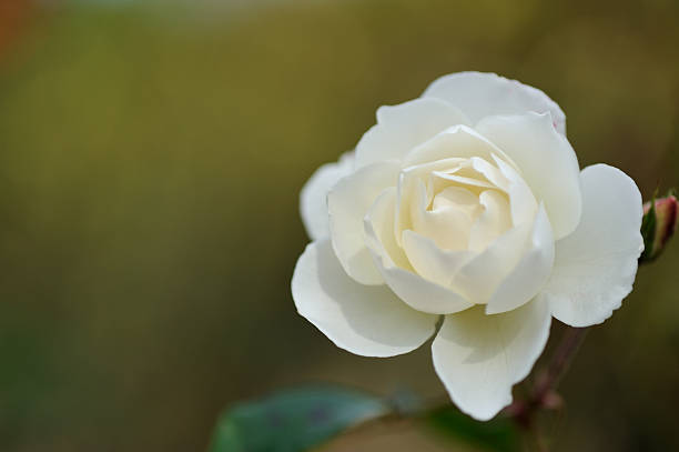 Rose picture id184277083?b=1&k=6&m=184277083&s=612x612&w=0&h=ixbtoaop8ruuaktemdv qqb  69iffzwvbaitqiey s=