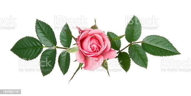 Rose picture id184962191?b=1&k=6&m=184962191&s=612x612&h=2f91qahkaokx6e1f4mg5p7zjicbludtjspwf10reqaw=