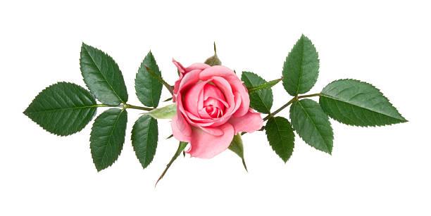 Rose picture id184962191?b=1&k=6&m=184962191&s=612x612&w=0&h=f2rtnn8liaf4ibejqcdrislw9yzysn11rlgihte1abq=