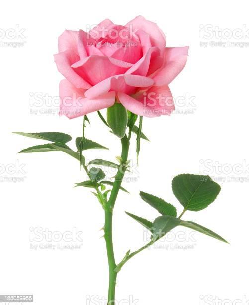 Rose picture id185059955?b=1&k=6&m=185059955&s=612x612&h=byip5zxl6pqqxzo3cpfp5wlnqkaojkzq8t9ag3fljza=