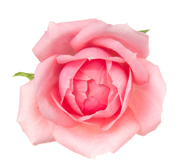 Rose picture id185299237?b=1&k=6&m=185299237&s=612x612&w=0&h=3osuktx5j0aekfkvq v8t6q5 wjeyco29qo8gbkpcfy=