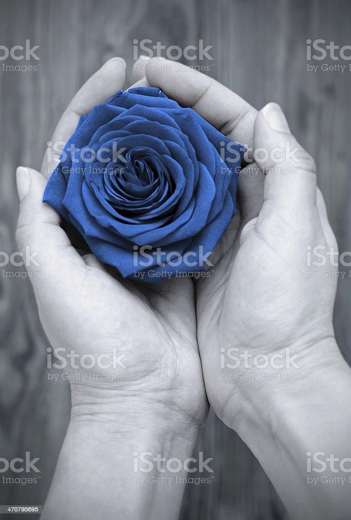 Rose stock photo