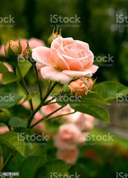 Rose picture id482781825?b=1&k=6&m=482781825&s=612x612&h=ghmhfhcmx96ydj6gssb fbf5sstludig3gfii8vs66m=