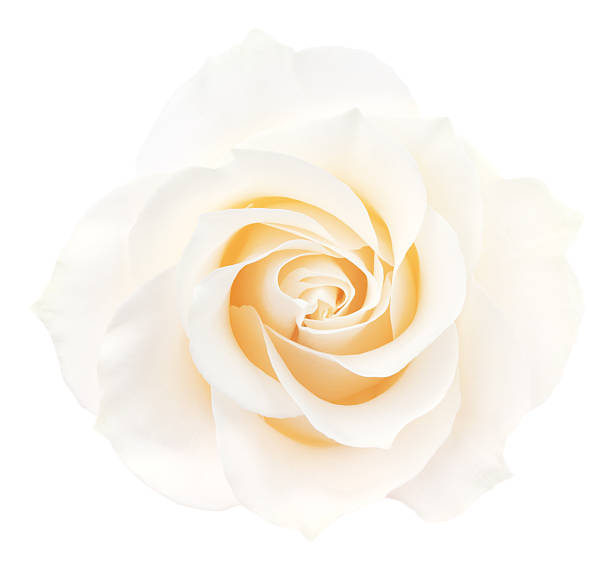Rose picture id487561306?b=1&k=6&m=487561306&s=612x612&w=0&h=khbd0jc7zsd9lqdyv5at4xmwjan5lk01em axorcvxy=