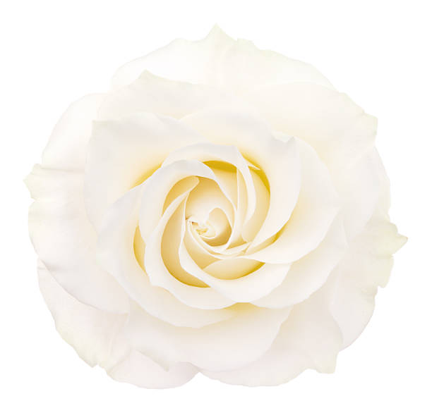 Rose picture id526111415?b=1&k=6&m=526111415&s=612x612&w=0&h=e5eadp64gopasxjug1m4cnuxtohbp tfizp6w5zxgjc=