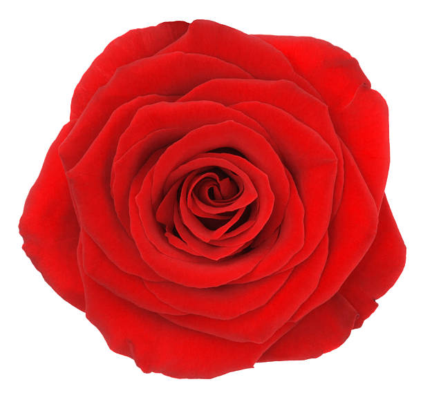 Rose picture id529982579?b=1&k=6&m=529982579&s=612x612&w=0&h=tvtfw t95bemgzb9ug7jlmgnwexuwjallhjuq1ycly4=