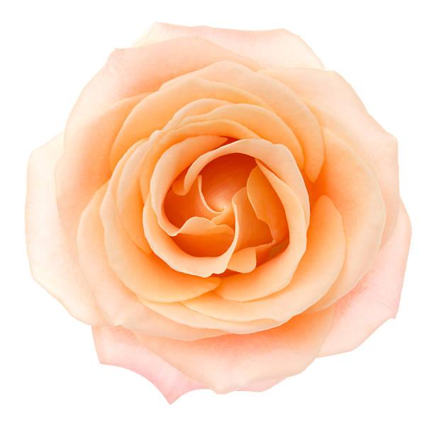 Rose picture id531248359?b=1&k=6&m=531248359&s=612x612&w=0&h=qaeadwpdtbry3w0a62c0jvpttwwmmj5m8uxsi01 ack=