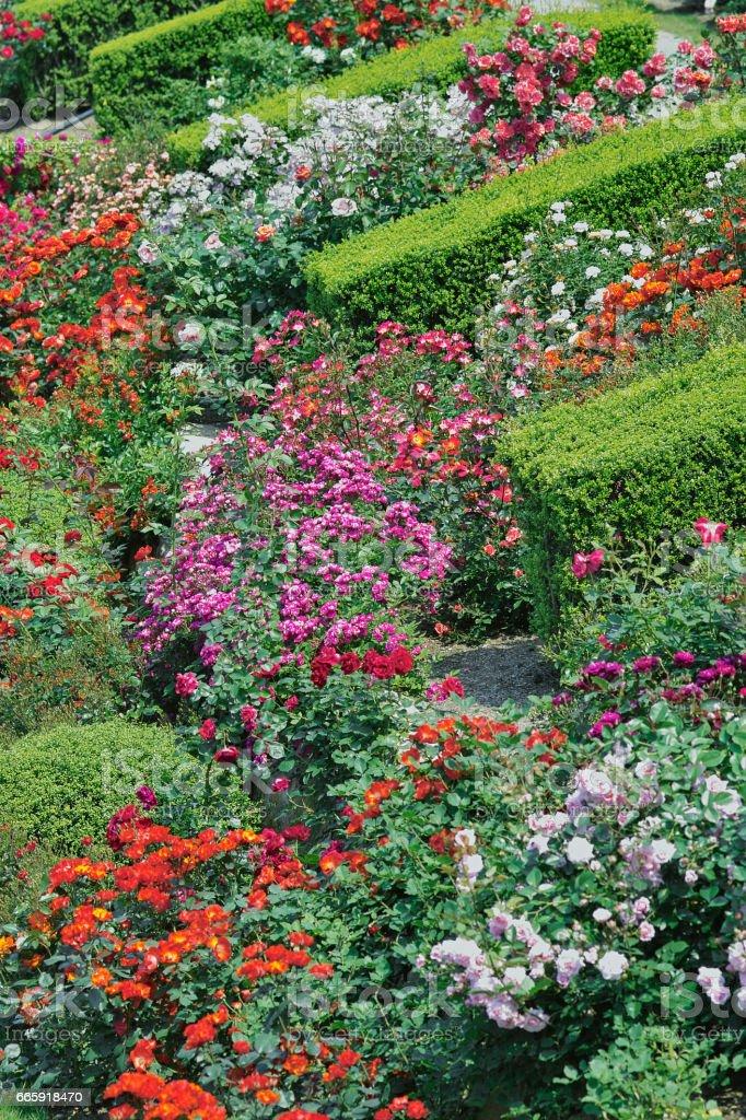Rose foto stock royalty-free