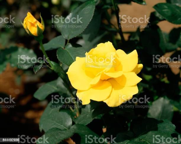 Rose picture id844492936?b=1&k=6&m=844492936&s=612x612&h=e8v3s3 epnga5fkpoypeue86iseikvlkl6 hz2xkuuk=