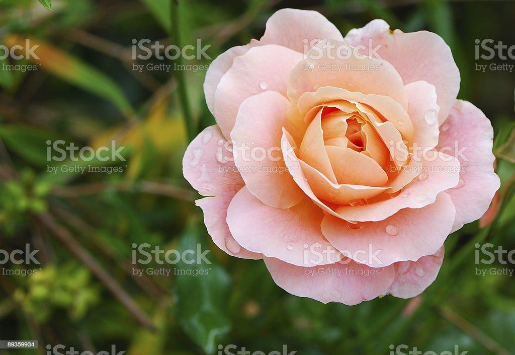 Rose foto de stock libre de derechos