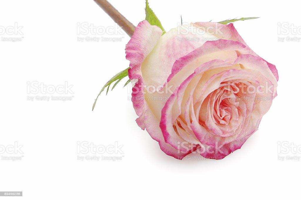Rose royaltyfri bildbanksbilder