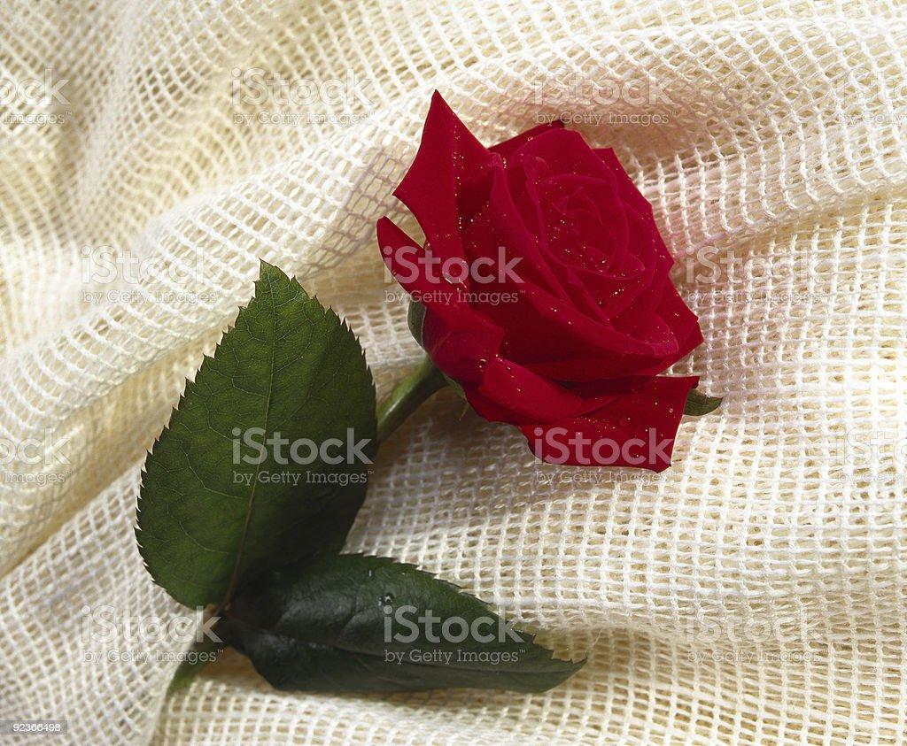 rose royalty-free stock photo