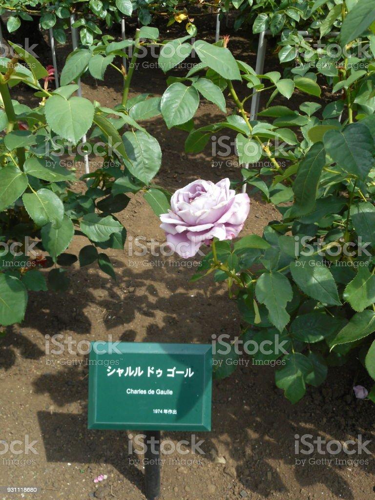 Rose (Charles de Gaulle) stock photo
