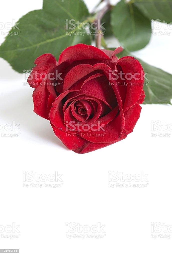 rose - 로열티 프리 꽃잎 스톡 사진