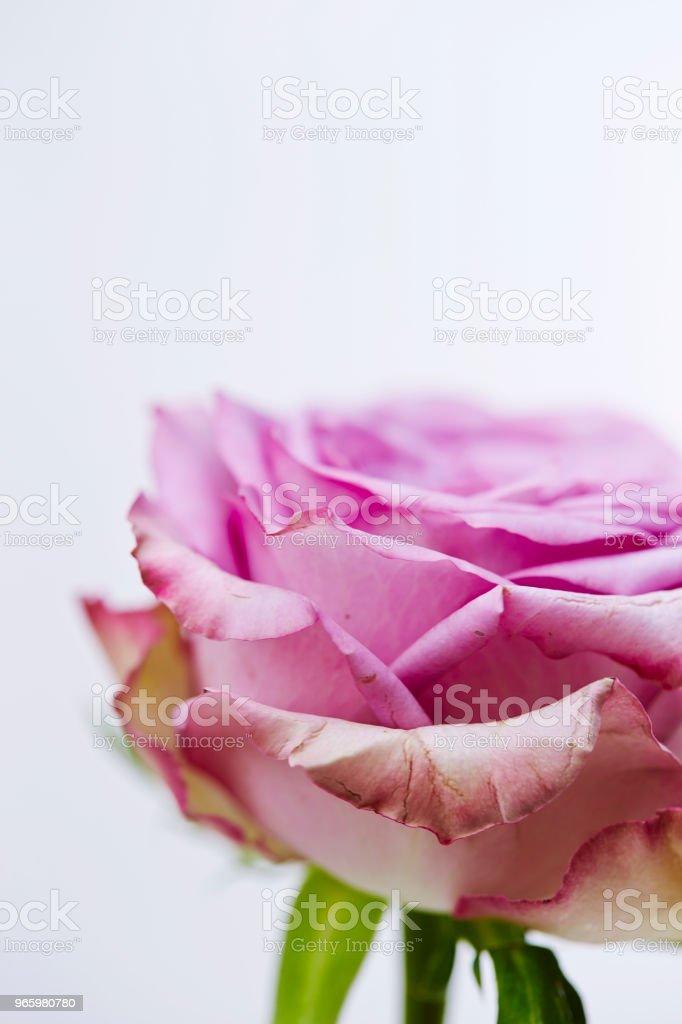 Rose - Lizenzfrei Baumblüte Stock-Foto