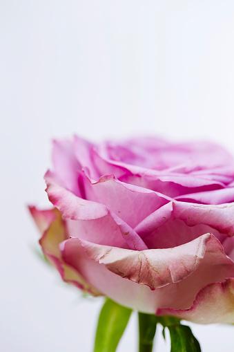 Rose Stockfoto en meer beelden van Bloem - Plant