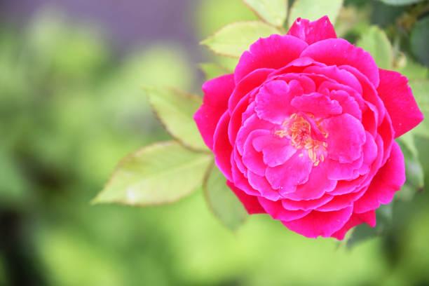 Rose picture id966920010?b=1&k=6&m=966920010&s=612x612&w=0&h=c2wiu5plcwaiorbplaapysddzjsvhalswjfso0oh8u4=