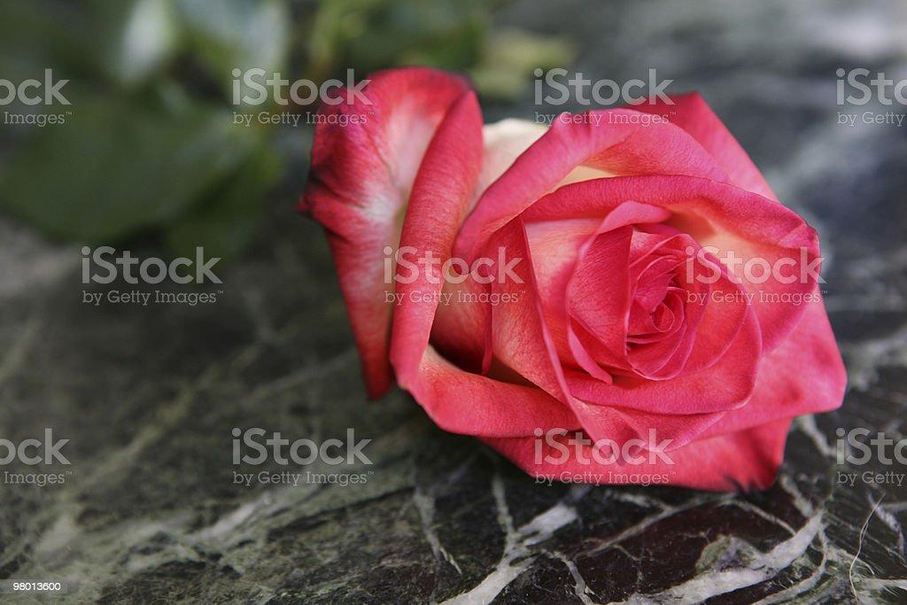 rose royalty free stockfoto
