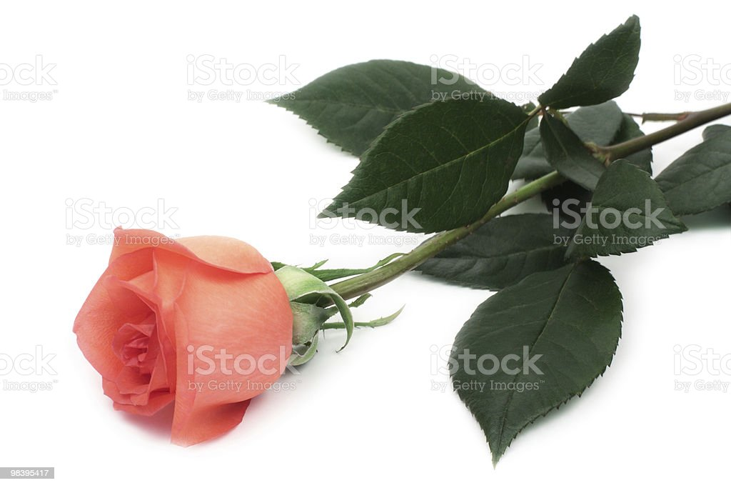 Rose foto stock royalty-free